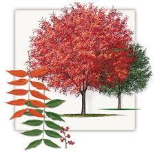 pistache tree dallas pistachio fannin tree farm