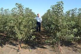 bareroot commercial fruit trees from moser fruit tree sales