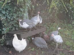guinea fowl thread page 4 backyard chickens