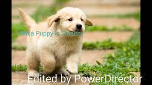 Puppy Meme - ninja puppy meme youtube