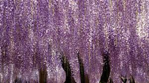 flower wisteria draping purple trellis flower wallpapers big size