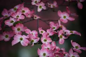 pink boquet tree flowers trees free nature pictures by