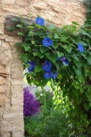 78 best garden climbing vines images on pinterest climbing
