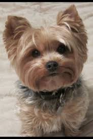 how to cut a yorkie poo s hair pin by stephanita phources on puppy power pinterest yorkies