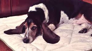 Causes Of Sudden Blindness In Dogs The Causes And Symptoms Of Lupus In Dogs Petcarerx