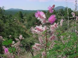 vascular plants of the gila wilderness vascular plants of the gila wilderness mimosa dysocarpa