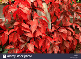 climber fence climbing plant five leaved ivy stock photos
