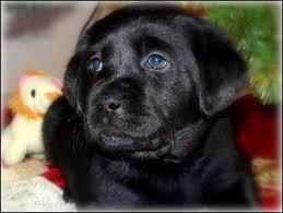 puppies u0026 pricingpuppies u0026 pricing u2014 caveinn labrador retrievers