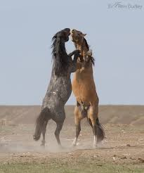 mustangs mating horses colts mating dust baths and more fighting