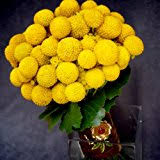 Billy Balls Amazon Com Dried Craspedia Billy Balls Flowers 16 22in Long