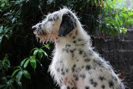 afghan hound poodle cross 15 super spotty dalmatian cross breeds