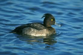 tufted duck audubon field guide