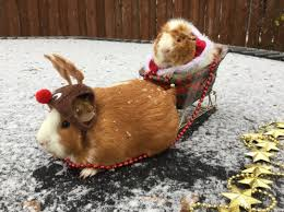 Guinea Pig Meme - have a guinea pig santa and rudolph album on imgur