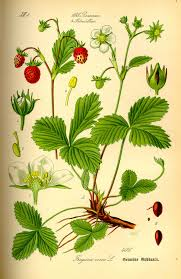 Flowers Of The Month List - fragaria vesca wikipedia