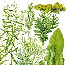 herb chart tarragon southernwood tansy spice herb chart plant flowers