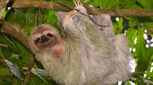 Cool Animal Wallpapers by Animals Animals Sloth Hanging Animal Wallpapers Images For Hd 16