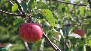 apples trees of marpha mustang nepal marpha is also as the