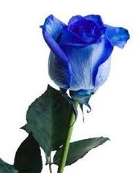 white and blue roses best 25 blue roses ideas on beautiful roses pretty