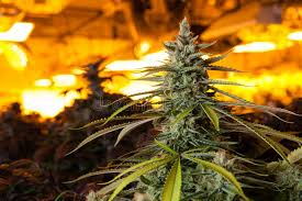 grow room lighting requirements marijuana in a grow room under lights stock photo image of growth