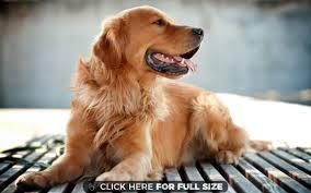 gta 5 boxer dog golden retriever dog wallpaper desktop wallpapers pinterest