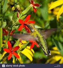 a ruby throated hummingbird feeds from royal catchfly silene