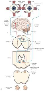 the cranial nerves organization of the central nervous system