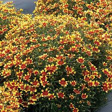 Heat Loving Plants by Sun Perennial Plants U0026 Flowers Buy Perennials For Sunny Gardens