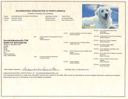 november birth animal rosie euro goldendoodles breeders of english goldendoodles