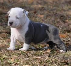 american pitbull terrier in india pitbull dog breed at rs 25000 unit pet dogs id 12181008912