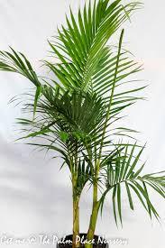 palm trees the palm place nursery