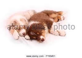 australian shepherd 6 weeks old puppies sleeping other stock photos u0026 puppies sleeping other stock