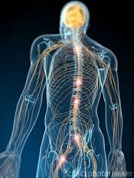 Lab Practical Anatomy And Physiology Lab Practical Nerve Tissue