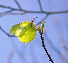 butterfly conservation brimstone