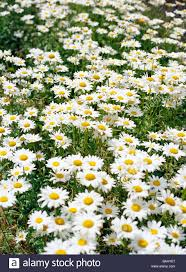 oxeye daisys sweden stock photo royalty free image 23598015 alamy