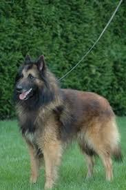 belgian shepherd standard photo belgian shepherd tervueren dog standard chien de berger