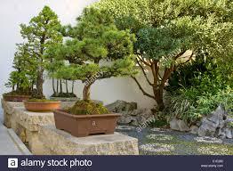 bonsai miniature trees in garden courtyard stock photo