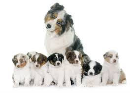 australian shepherd akc discover your dog u0027s family tree with an akc certified pedigree