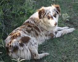 australian shepherd red merle puppy 100 best images about animals on pinterest
