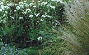 fall blooming anemones fine gardening