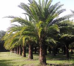 sylvester palm hardy palm tree farm