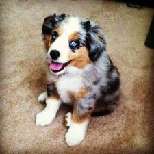 south dakota australian shepherd our new pup zoe australian shepherd blue merle coat aussie