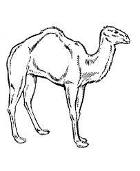 how to draw a camel coloring page download u0026 print online