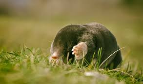 windows download wallpaper dangerous mole blind mobile