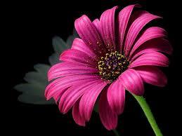 pink petal flower free stock photo
