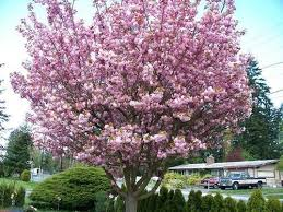 pink flowering cherry prunus species ornamental flowering tree