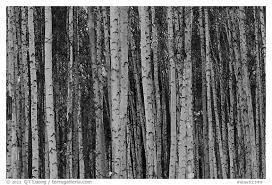 black and white picture photo bare aspen tree trunks alaska usa