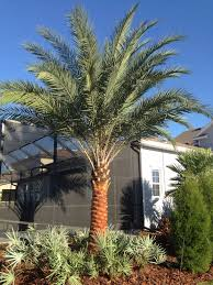 sylvester palm tree price sylvester palms are for florida s climate and so are the