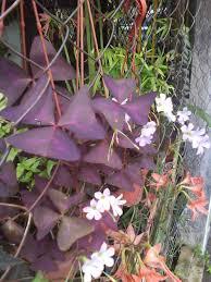 purple ivy plants ciliatus leaves purple underneath fern sweet