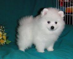 american eskimo dog dallas american eskimo dog like and repin please animals pinterest