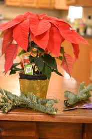 home depot black friday poinsettias dressing up a cheap poinsettia creative southern home